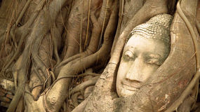 Buddha head statue under root tree. Royalty Free Stock Photography