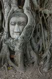 Buddha Head Surrounded by Roots. A stone head of Buddha nestled in the embrace of bodhi tree's roots in Wat Prha Mahathat Temple in Ayutthaya, Thailand Stock Photos