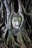 Buddha head in tree Stock Images
