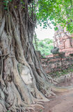 Buddha head in the tree, at Ayutthaya. Royalty Free Stock Image
