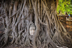 Buddha Head in the tree stock photography
