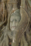 Buddha head in tree root in Ayutthaya, Thailand. Royalty Free Stock Photo