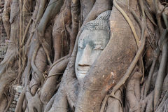 Buddha head in tree root Royalty Free Stock Photo