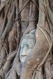 Buddha head in tree root Royalty Free Stock Image