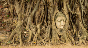 Buddha head in the tree roots. Ancient Buddha image head in the tree roots. Ayutthaya, Thailand Stock Images