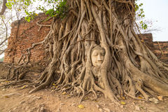 Buddha Head in Tree Roots in Wat Mahathat Royalty Free Stock Photography