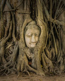 Buddha Head in Tree Roots Stock Images