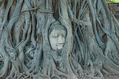 Buddha Head in Tree Roots, Wat Mahathat, Ayutthaya. This ancient temple was built during the 14th century, but was reduced to ruins in 1767 when the Burmese army stock photos
