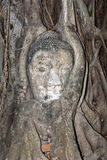 Buddha Head in Tree Roots at Wat Mahathat, Ayutthaya Stock Images