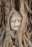 Buddha head in tree roots Royalty Free Stock Image