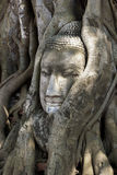 Buddha Head in Tree Roots, Wat Mahathat, Ayutthaya, Thailand. Stock Photography