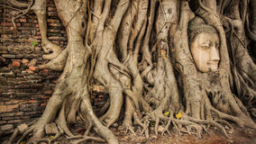 Buddha Head Tree Wat Maha That Ayutthaya. buddha statue trapped in Bodhi Tree roots. Ayutthaya historical park Royalty Free Stock Images