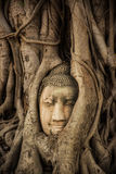 Buddha Head Tree Wat Maha That Ayutthaya. buddha statue trapped in Bodhi Tree roots. Ayutthaya historical park Royalty Free Stock Photo