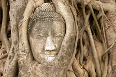 Buddha head in vines Stock Images