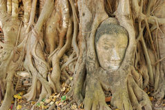 Buddha heads. To the tree root Wat Mahathat,Thailand Royalty Free Stock Photos