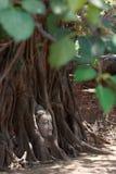 Buddha huvud i banyanträd rotar Royaltyfria Bilder