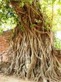 Buddha i en tree Arkivfoton