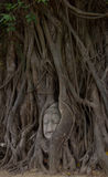 Buddha image of head in roots of bodhi tree Stock Photos