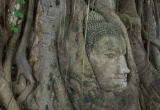 Buddha image head stuck in the tree3 Stock Photography