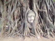 Buddha-Kopf in den Baum-Wurzeln Stockfotos