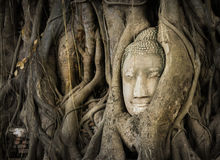 Buddha-Kopf in den Baum-Wurzeln Stockbild