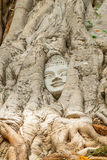 Buddha-Kopf in einem Baum Lizenzfreie Stockfotos