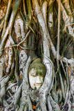 Buddha-Kopf eingebettet in einem Banyanbaum in Ayutthaya, Thailand lizenzfreie stockfotos