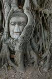 Buddha-Kopf umgeben von Roots Stockfotos