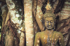 Buddha mossy stone sculpture among banyan tree trunks and roots as Asia travel background Stock Photos