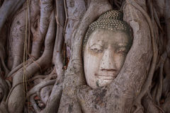 Buddha in the roots. In public temple Stock Image