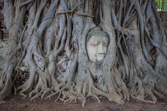 Buddha in the roots. Stock Image