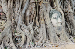 Buddha's head is embedded in tree roots, a beautiful ancient Stock Photography