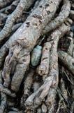 Buddha's Head hidden in the Root Stock Image