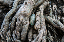 Buddha's Head hidden in the Root Royalty Free Stock Photos