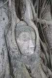 Buddha's head in roots Royalty Free Stock Photo