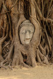 Buddha s head in tree root. The Buddha s head in tree root - one of  Unseen Thailand at Wat Phra that,Ayutthaya, Thailand Royalty Free Stock Photo