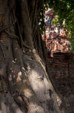 Buddha's head in tree roots Royalty Free Stock Image