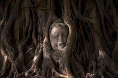 Buddha's head in tree roots Royalty Free Stock Photo