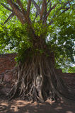 Buddha's head in tree roots Royalty Free Stock Images