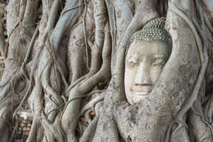 Buddha 's head in the tree roots Royalty Free Stock Images