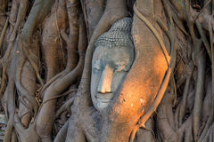 Buddha`s head in tree roots Royalty Free Stock Image