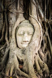 Buddha statue in the roots of tree Royalty Free Stock Images