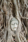 Buddha statue in the roots of tree at , Ayutthaya, Thailand Stock Images