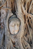 Buddha statue trapped in Tree roots at historical park Royalty Free Stock Photography