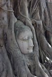 buddha tree Royaltyfri Bild