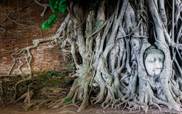 Buddha in The Tree Roots. Head of Sandstone Buddha in The Tree Roots at Wat Mahathat, Ayutthaya, Thailand Royalty Free Stock Images