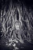 Buddhahuvud i ett träd Fotografering för Bildbyråer