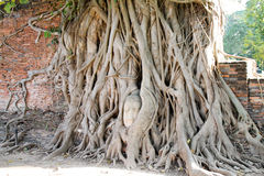 Buddhahuvudet i träd rotar, Wat Mahathat, Ayutthaya, Thailand Royaltyfria Bilder