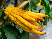 Buddhas hand exotic citron citrus fruit Stock Images