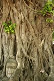 Buddhas head banyan tree thailand. Buddhas head in roots of bodhi tree in the ancient thai capital of ayutthaya stock image